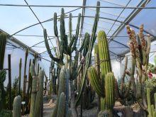 kaktuszék