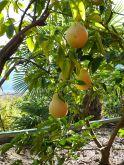 irány a ''Limonaia'', a citrusfélék terasza
