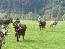 Almabtrieb Hollenzenben - a tehenek ünnepélyes leterelése a legelőkről a nyár végén